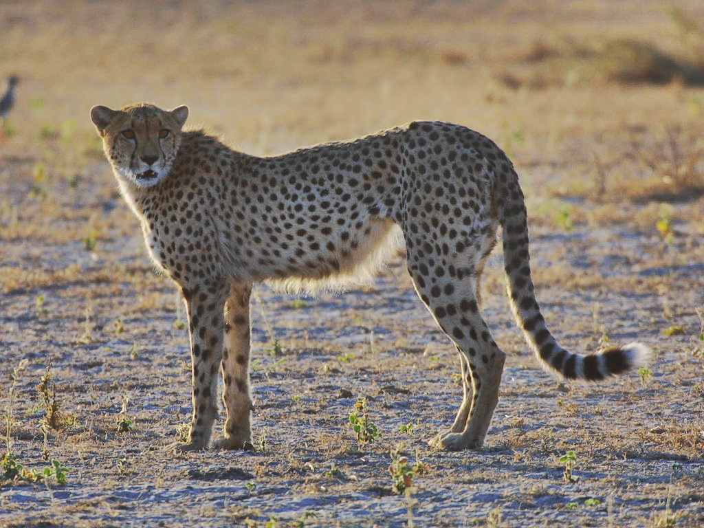 an introduction to cheetahs the fastest of felines Cheetahs are the fastest land mammals, reaching speeds of 100km/h they are  diurnal hunters as they hunt primarily during the day when they.
