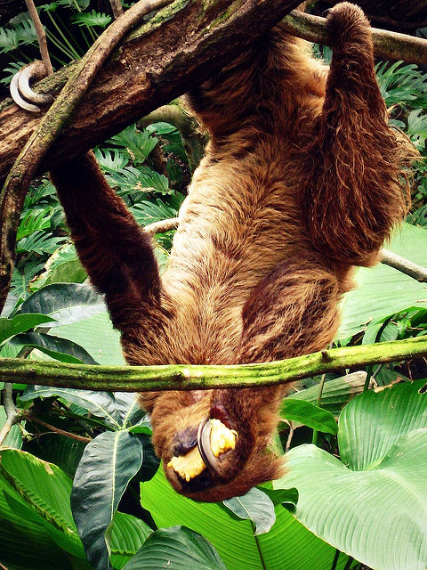 Sloth Facts: Dinner