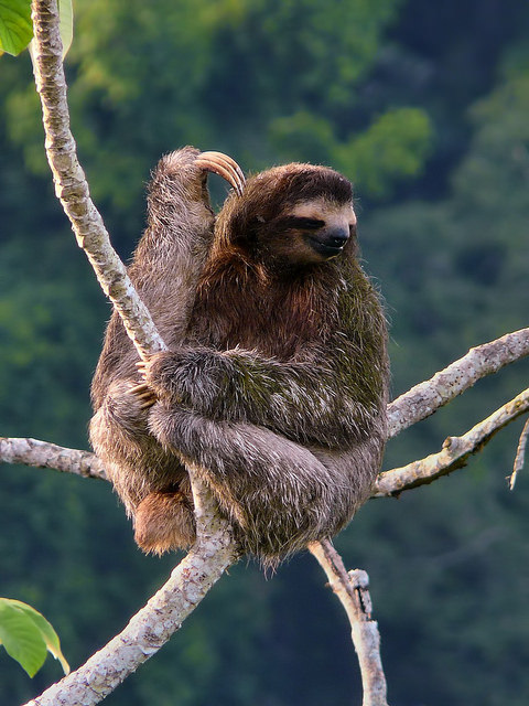 Sloth Facts: Brown-Throated Three-Toed Sloth