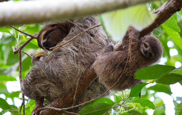 Sloth Facts: Offspring