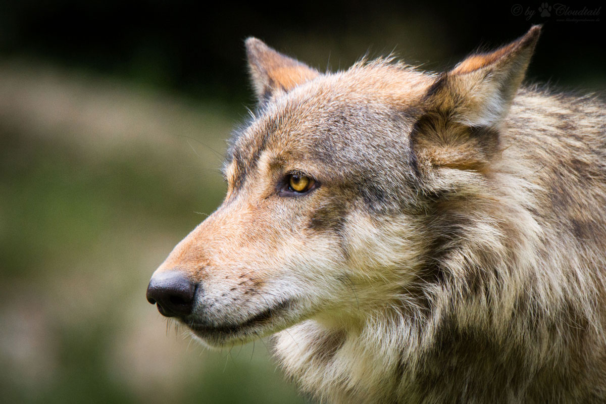 types of wolves eastern wolf