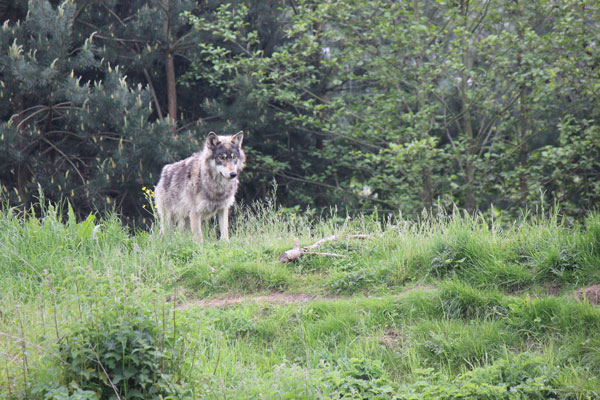 Types of Wolves: Gray Wolf