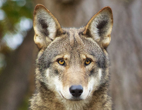 a new introduction of the wolves into nature in the united states By the mid-1900s, wolves had been almost entirely eliminated from the 48 states an intensive survey in the 1970s found no evidence of a wolf population in yellowstone, although an occasional wolf probably wandered into the area.