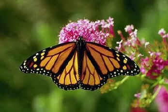 Photo of a Monarch butterfly on milkweed