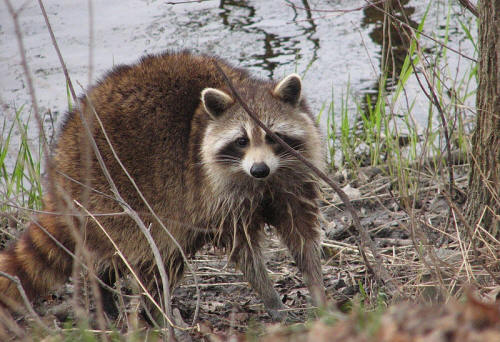 Kidzone geography ontario for Do raccoons eat fish