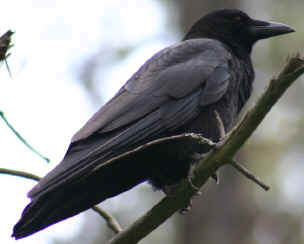 The Crow is an enemy of the Yellow-Headed Blackbird