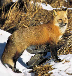The Fox is an enemy of the Willow Ptarmigan