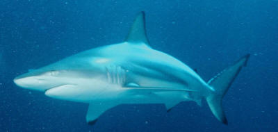 blacktip shark - source wikimedia