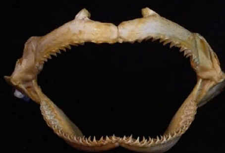 shark teeth photo