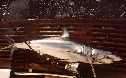 mako shark photo