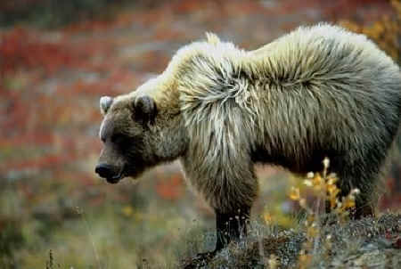 Bear Facts - Species - Brown Bear - photo#31