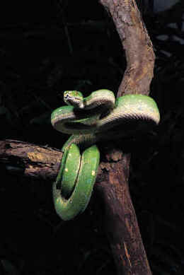 http://www.kidzone.ws/lw/snakes/images/greentreepython.jpg