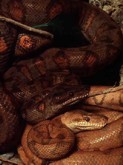 Snake Facts Boa Constrictor