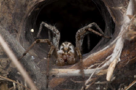 Spider Facts - Brown Recluse Spider - photo#39
