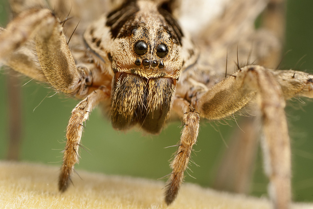 Do all spiders have fangs?