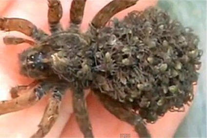 What Do Wolf Spiders Eat >> Spider Facts Spiderlings