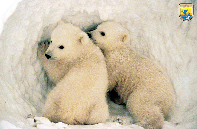 Animal Facts: The Polar Bear
