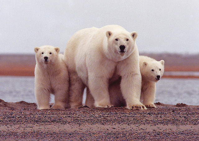 Animal Facts The Polar Bear